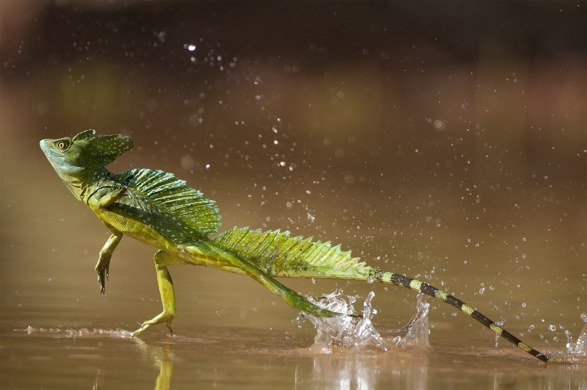 05 Nov 2008, Costa Rica --- Green / Double-crested basilisk (Basiliscus plumifrons) running across water surface, Santa Rita, Costa Rica --- Image by © Bence Mate/Nature Picture Library/Corbis